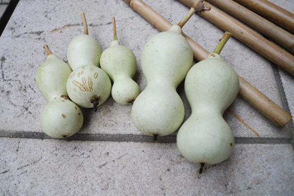 ひょうたん収穫