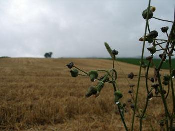 雨の後の麦畑