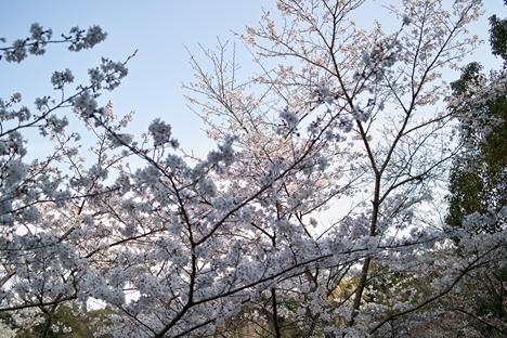 桜 @ かわなべ森のがっこう
