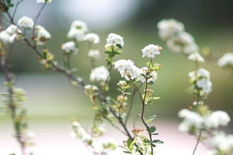 白い花@ソラニワ