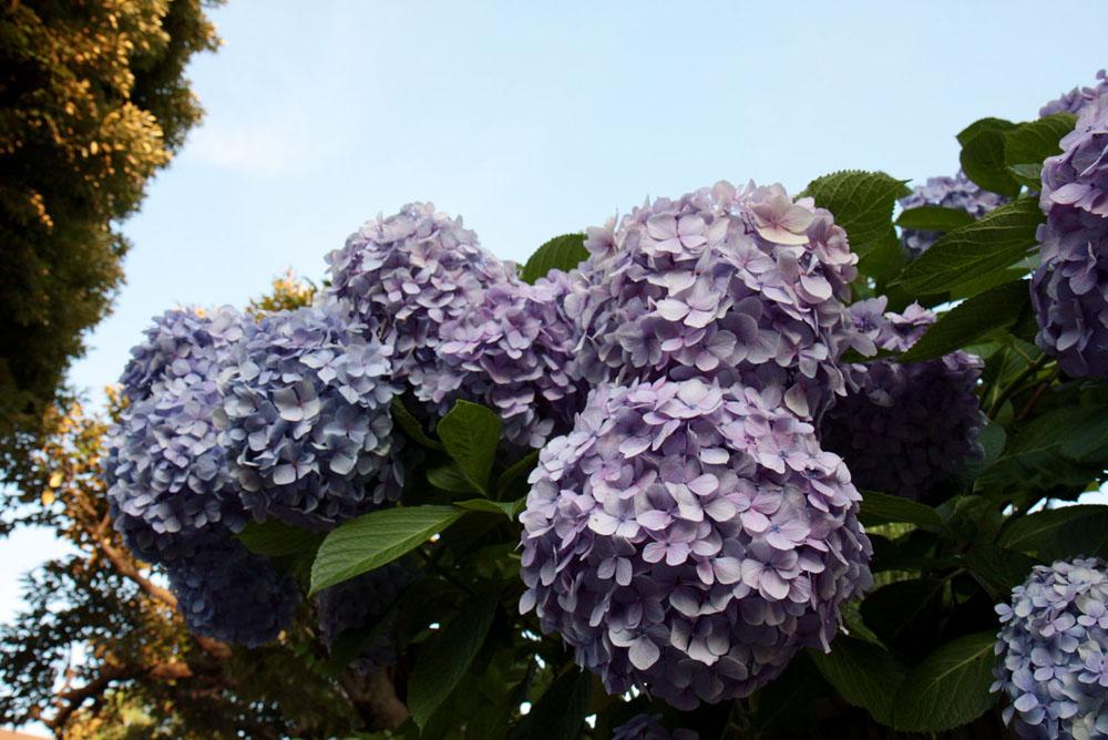 どでかい紫陽花が!