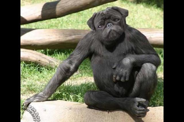 猿パグ.jpg