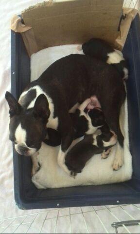 ルシアの子犬.jpg26日生まれ.jpg1.jpg