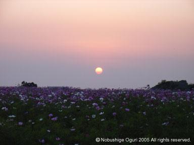 コスモス畑と夕日