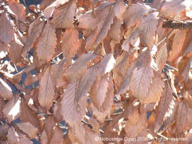 コナラの枯葉
