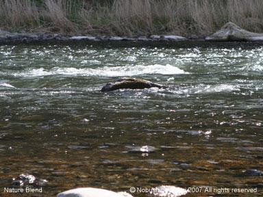 相模川の川も