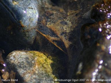トビケラの巣
