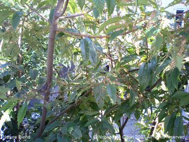 秋の栗の木