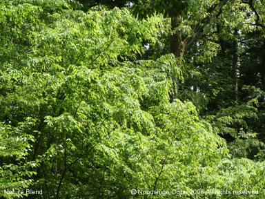 コナラとクヌギの新緑