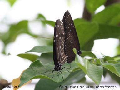 チョウの交尾