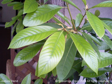 マテバシイの葉