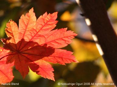 庭の紅葉 ハウチワカエデ