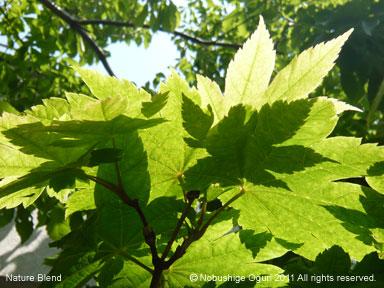 春の陽光と広葉樹の若葉3.jpg