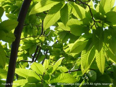 春の陽光と広葉樹の若葉4.jpg