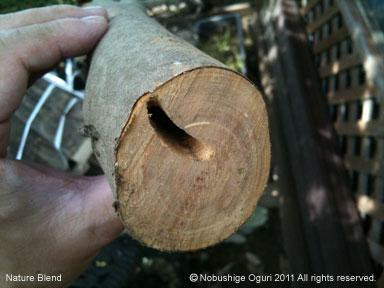 サザンカの木が枯れた原因探2.jpg