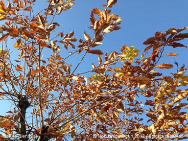 枯葉の季節コナラ.jpg