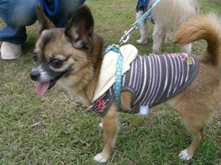 2008年8月6日モニター犬チワワ・マメ♀