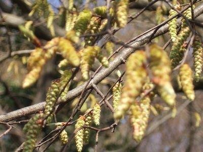 イヌシデの花穂