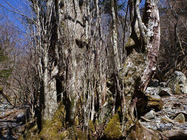 カツラ巨木