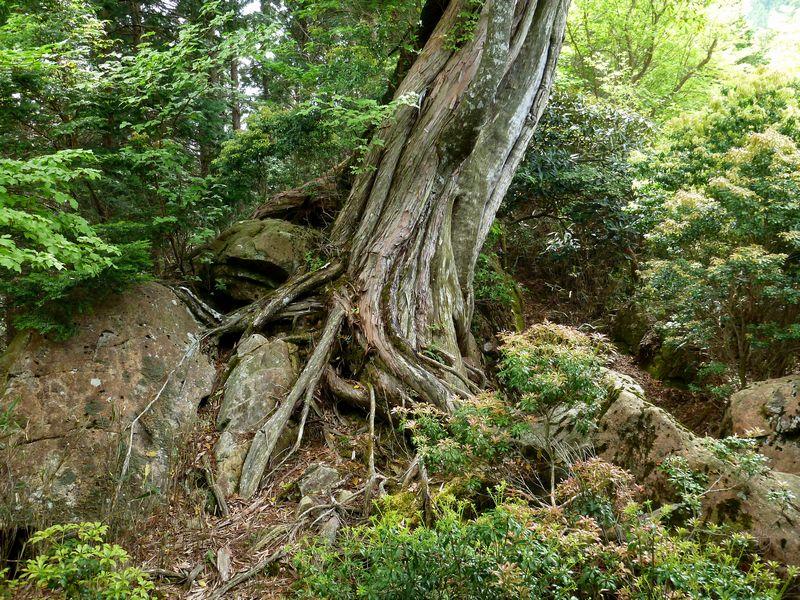 桧とヤマグルマ共生木