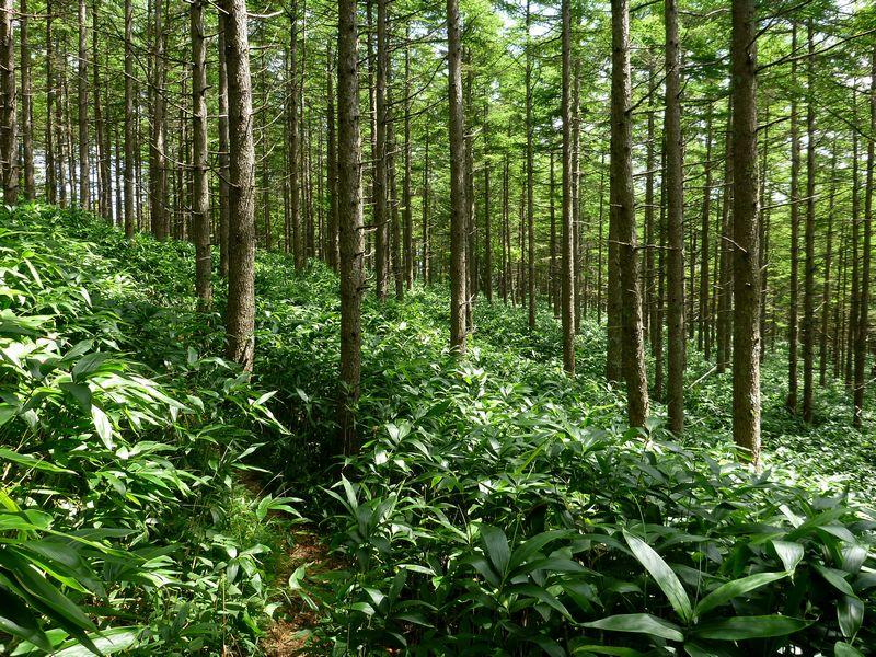 恵那山カラマツ林