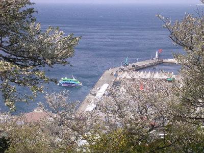 大島桜と岡田港