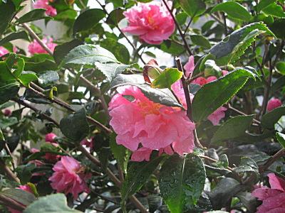 Fragrant Pink Improved