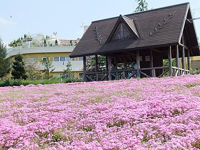 刈谷市ミササガパークの芝桜