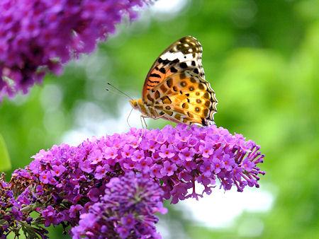 ブットレアと蝶