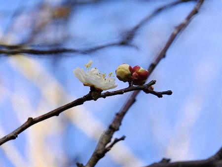 早くも梅の花が
