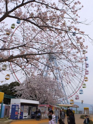 パルパル桜