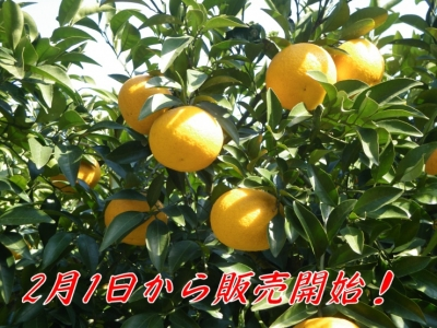 2013年甘夏収穫販売