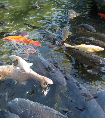 吉池旅館の鯉