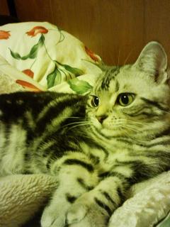 猫のマオ(アメショー)
