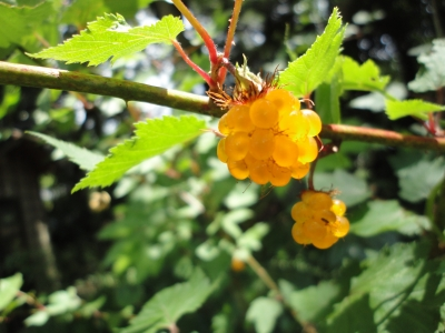 黄色い木苺