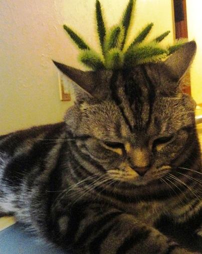 猫じゃらし、頭のっけ