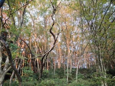 雑木林の夕陽