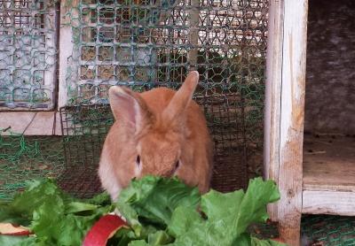 ウサギ、食事中