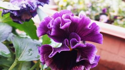 紫フリルパンジー