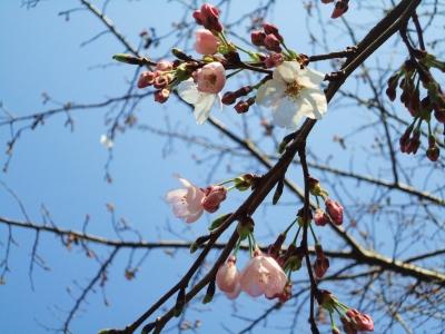 桜、開花状況