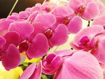 ピンクの胡蝶ラン
