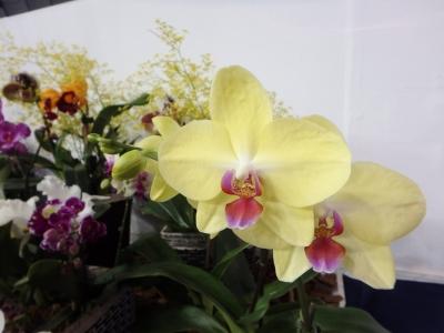 黄色の胡蝶ラン