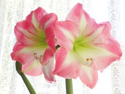 ピンクのアマリリス