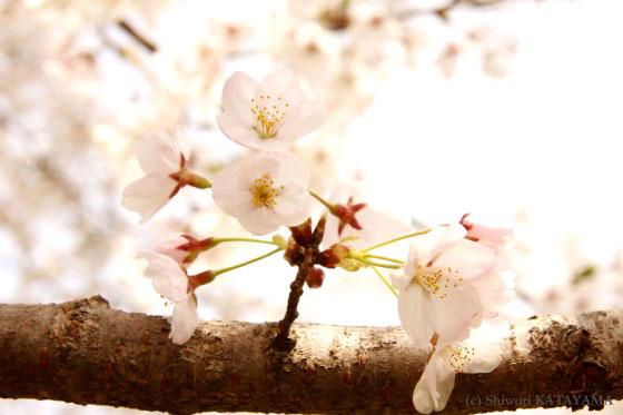 Sakura 2010 5