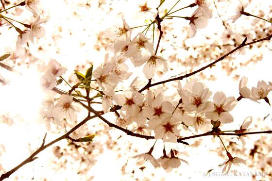 Sakura 2010 6
