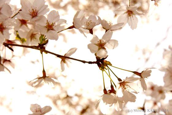 Sakura 2010 8