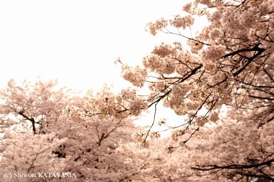 Sakura 2009 1