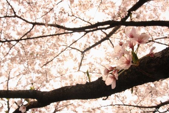 Sakura 2009 4