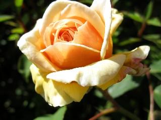 硬質感のある花弁