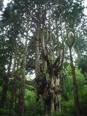岩倉の乳房杉(ちちすぎ)